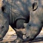 South Africa Mala MalaTwo white Rhinoceros(Ceratotheruim simum)425045