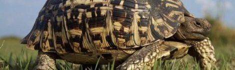 little-five-leopard-tortoise-1