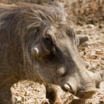 "The ""Ugly Five"": Warthog"