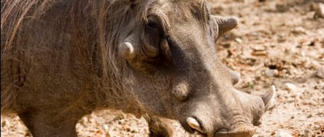warthog-ugly-five