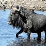 "The ""Ugly Five"": Wildebeest"