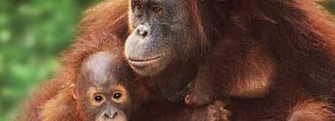 orangutan-safari