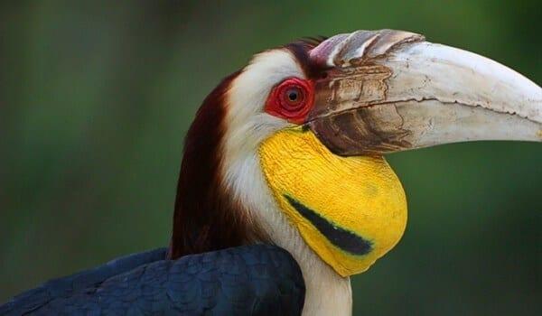 thai-hornbill
